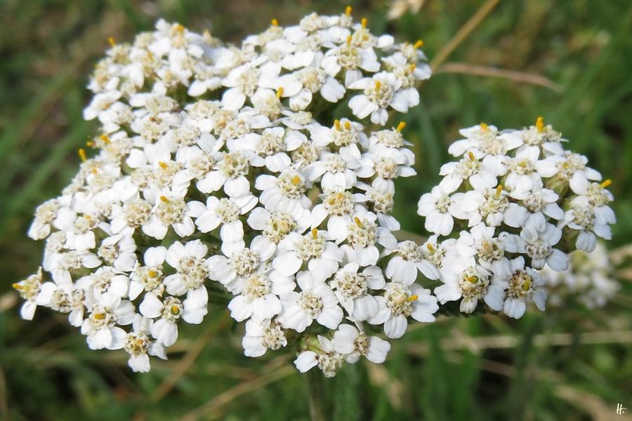 2018-06-14 Lüchow, Garten, Gewöhnliche Schafgarbe (Achilleum millefolium)